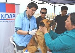 En Chanavayita INDAP vacunó a más de 30 mascotas para prevenir enfer