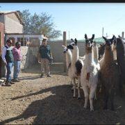 En La Tirana fiscalizan a centros de faenamiento de ganado, instalados con motivo de festividad religiosa