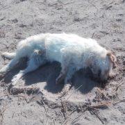Vecinos de La Tirana, sector La Aguada de Canchones, denuncia envenenamiento de perros y otros animales